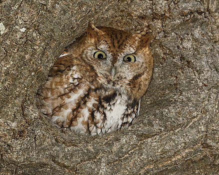 Eastern Screech-Owl by Christopher Ciccone