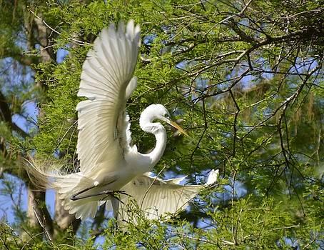 Egret landing by Bill Hosford