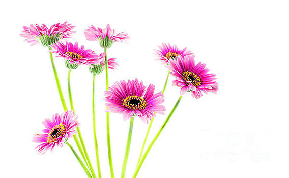 Compuinfoto - eight pink gerbera isolated on white