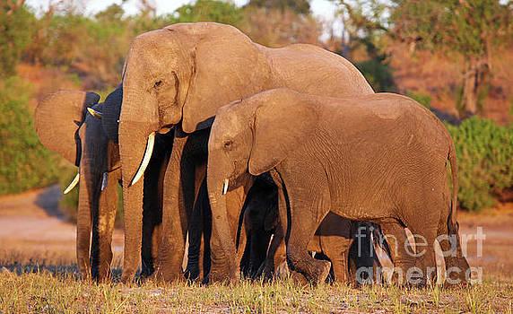 Elephants at riverside of Chobe, Botsuana by Wibke W