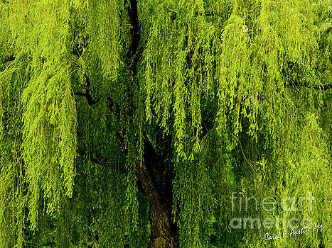 Enchanting Weeping Willow Tree  by Carol F Austin