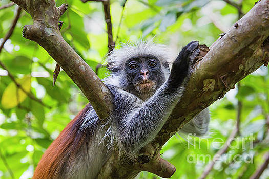 Endangered Zanzibar red colobus monkey, Jozani forest, Zanzibar by Mariusz Prusaczyk