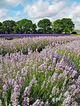 English Lavender by Alex Cassels
