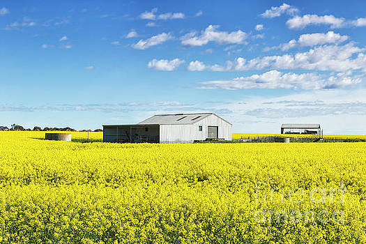 Equipment Shed And Shelter In A Field Of Flowering Canola Crop by Carl Chapman