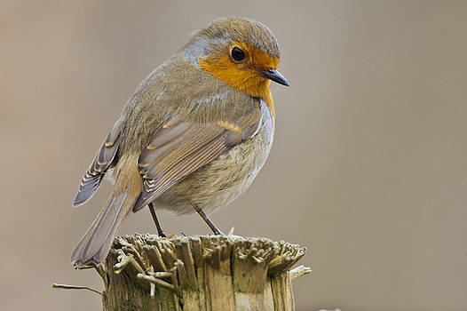Eurasian Robin by Andy Beattie Photography