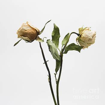 BERNARD JAUBERT - Faded rose flower