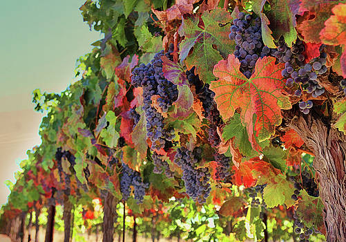 Fall Harvest Wine Vineyard with Grapes by Stephanie Laird