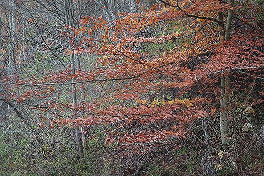 Fall Tree by Steve Konya II