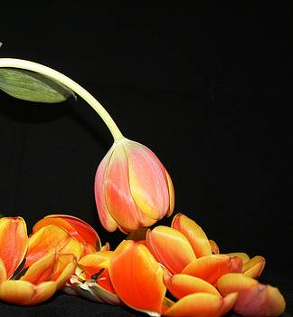 Falling Tulip Petals by Victoria  Johns