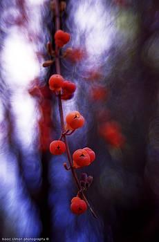 False Solomon's Seal Fruit by Isaac Silman