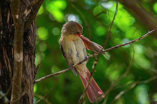Female Cardinal  by Bob Marquis