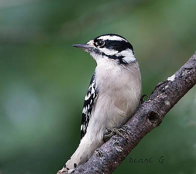 Female Downy Woodpecker by Diane Giurco