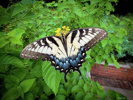 Female Eastern Tiger Swallowtail  by Hannah Underhill