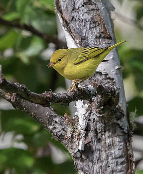 Dee Carpenter - Female Yellow Warbler