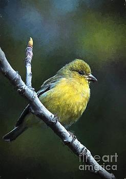 Finch by Zsuzsanna Szugyi