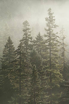 Firs in a Foggy Forest by Greg Vaughn