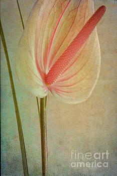 Heiko Koehrer-Wagner - Flamingo Flower  1