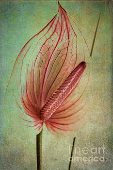 Heiko Koehrer-Wagner - Flamingo Flower  2