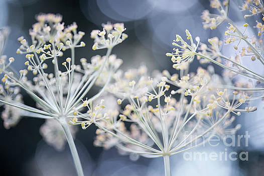 Flowering dill by Elena Elisseeva