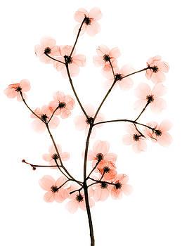 Ted Kinsman - Flowering Dogwood X-ray