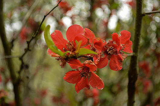 Flowering Quince by Linda Geiger