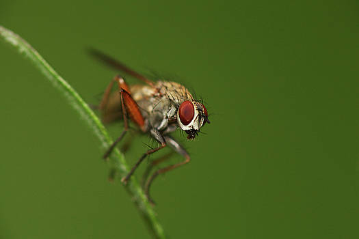 Fly on a hay by Jouko Mikkola