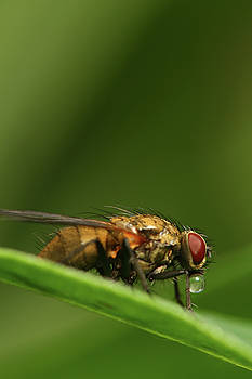 Fly on a leaf with bubble by Jouko Mikkola