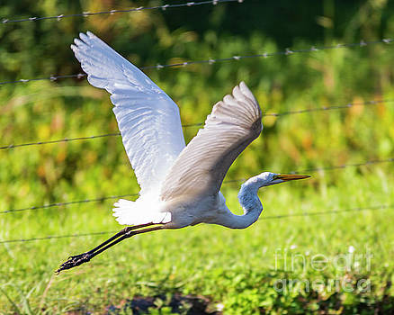 Flying Egret by Eric Killian