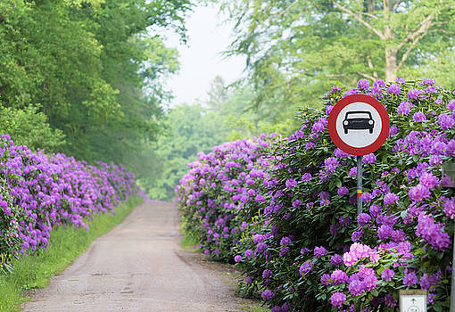 Footpath Through Blooming Rhododendron Flowers by Hans Engbers