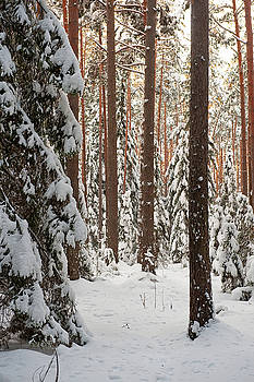 Forest in winter by Roberts Ratuts
