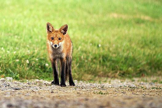 Fox Portrait by Victoria Winningham