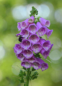 Foxglove by Cathy Kovarik