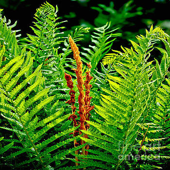 Fern Fractals In Nature by Carol F Austin