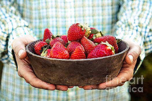 Fresh strawberries in farmer's hands by Mythja Photography