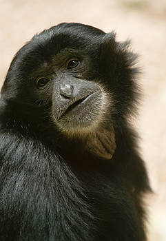 Funky Gibbon by Andrew  Michael