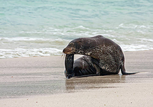 Galapagos Sea Lion Scratching by Sally Weigand