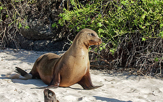Galapagos Sea Lion Walking by Sally Weigand