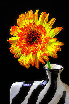 Gerbera Daisy In Striped Vase by Garry Gay