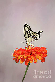 Giant Swallowtail Butterfly #3 V2 by Judy Whitton