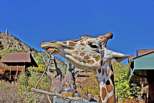 Giraffe Head Blue Sky sweet Lips Colorado Springs 2 10292017   by David Frederick