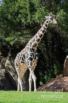 Giraffe by Jill Lang