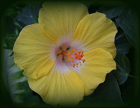 Golden Hibiscus by Dora Sofia Caputo Photographic Design and Fine Art
