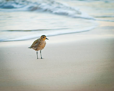 Golden Plover on the Beach, Maui, Hawaii by Preston Broadfoot