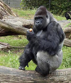 Compuinfoto  - gorilla