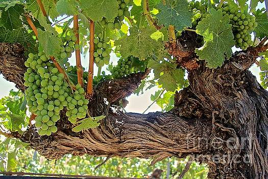 Grapes on old vine by Anthony Jones