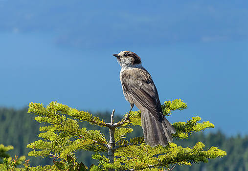 Gray Jay by Kathy King