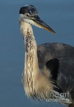 Paulette Thomas - Great Blue Heron Portrait