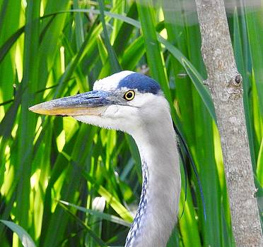 Great Blue Heron by Sheila Price