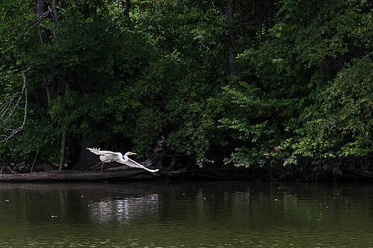 Great Egret flying low by Dan Ferrin