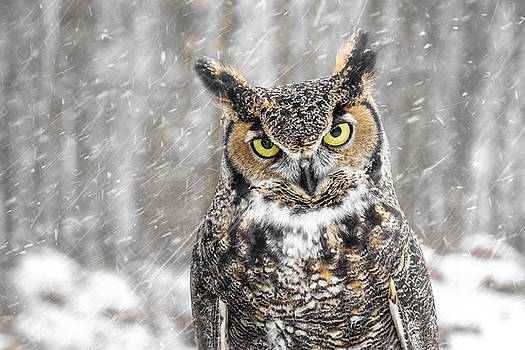 Great Horned Owl by Angie Rea